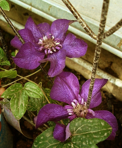 Clematis CASSIS 'Evipo020'