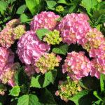 гортензия крупнолистная розовая