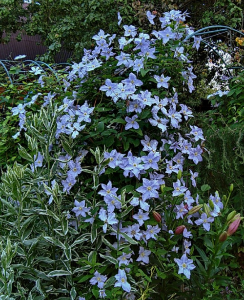 Clematis BLUE ANGEL 'Blekitny Aniol'