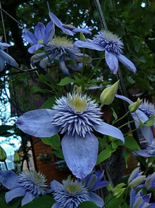 "Clematis ""Blue Light"""