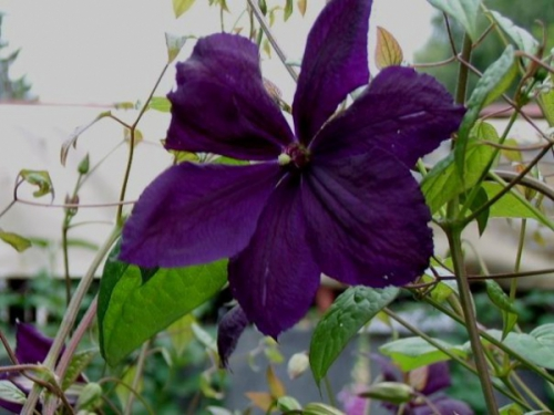 "Clematis ""Negristka"""