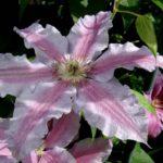Уход за клематисами весной (1)