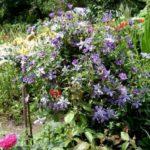 Цветение клематиса коэффициент