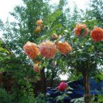 Штамбовые розы, или розы на штамбе 2