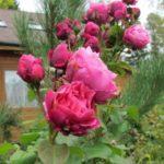 Штамбовые розы, или розы на штамбе 4