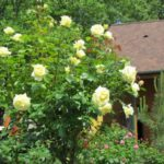 Штамбовые розы, или розы на штамбе 6