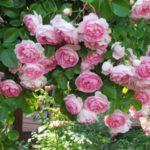 Штамбовые розы, или розы на штамбе 5