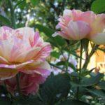 Штамбовые розы, или розы на штамбе 7