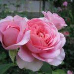 Штамбовые розы, или розы на штамбе 3