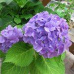 Окраска соцветий садовой гортензии